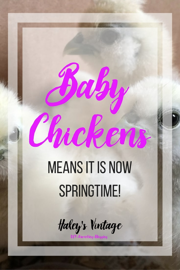 We love new baby chickens. These baby chickens are great pets and egg layers. See how silkies and baby chickens are great learning experience for kids!