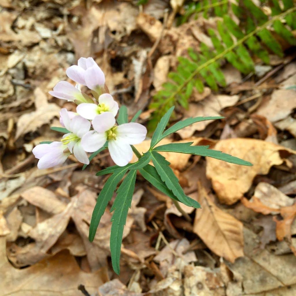 A Beautiful Wildflower found while morel mushroom hunting. #morel #mushroom