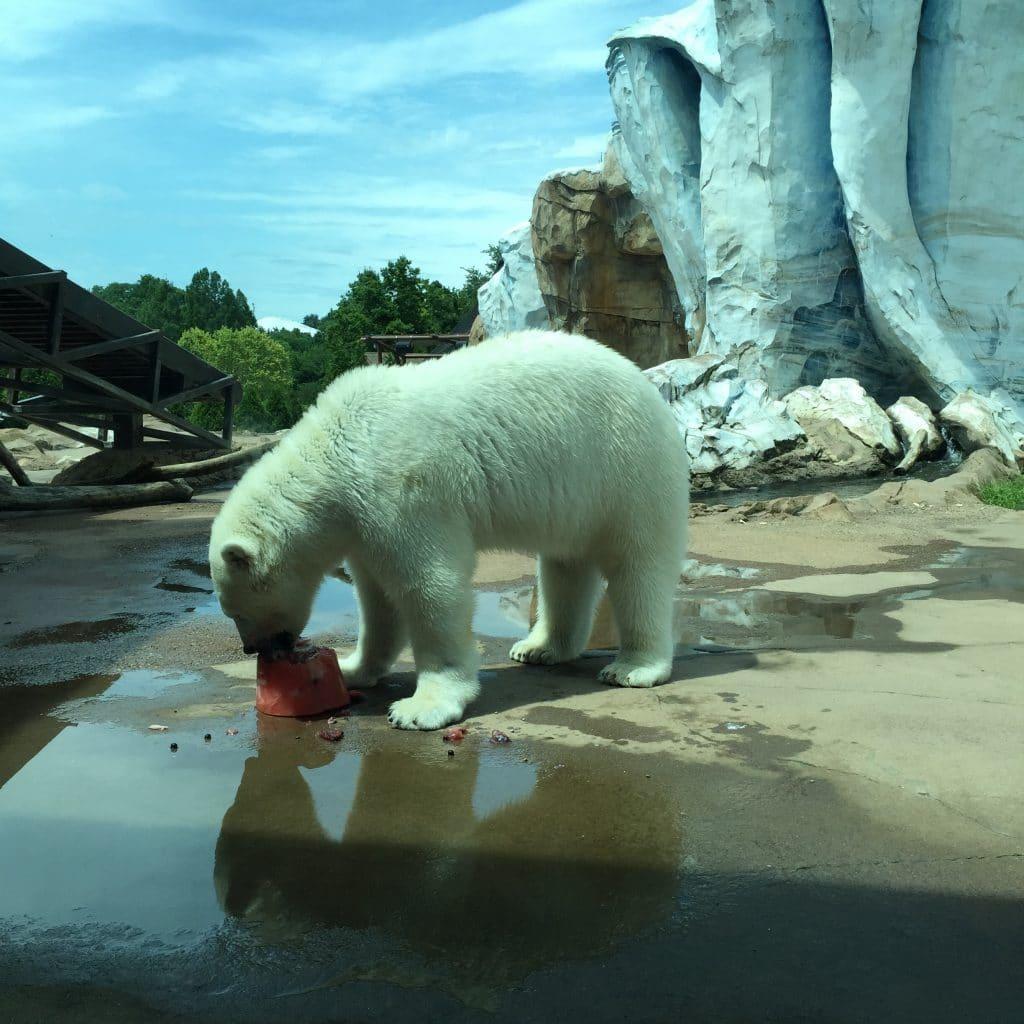 Polar Bear at Louisville Zoo